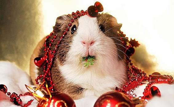 Christmas-guinea-pig
